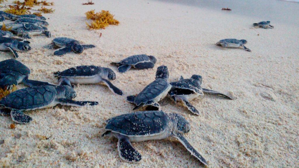 Liberación de Tortugas en Riviera Maya