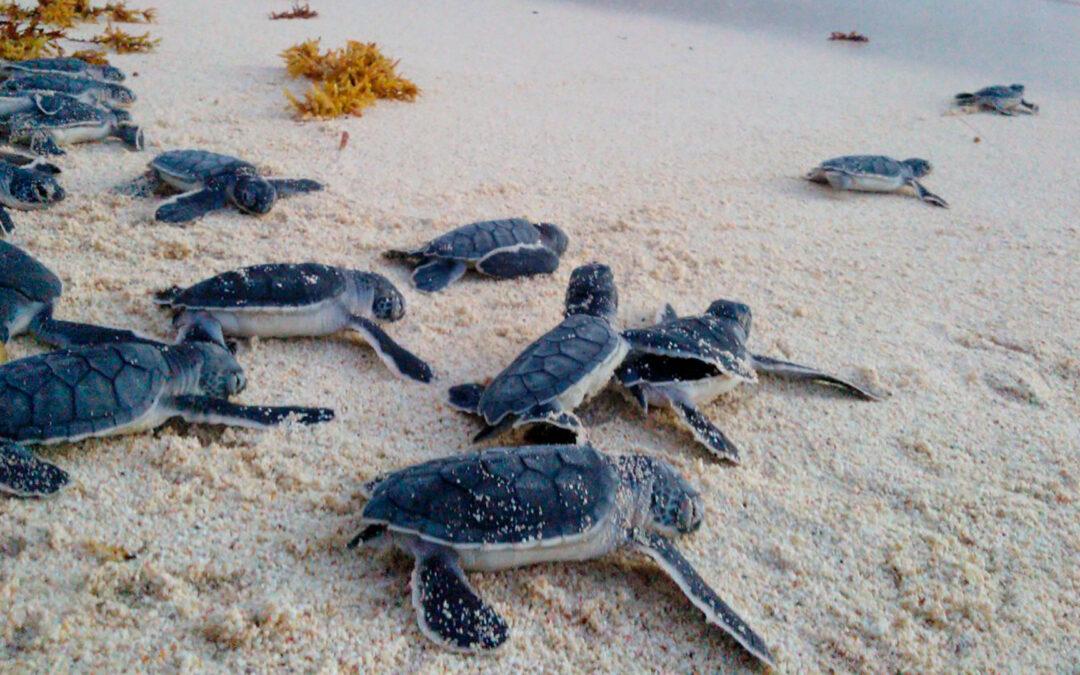 Liberó Fundación EcoBahía 180,000 crías de tortugas en 2020